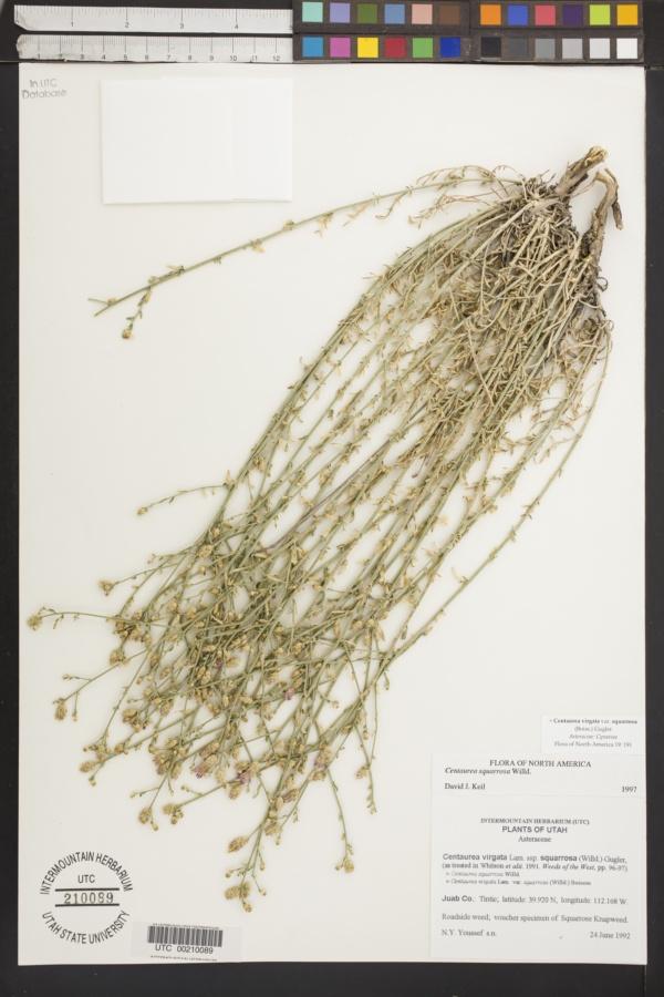 Centaurea squarrosa image