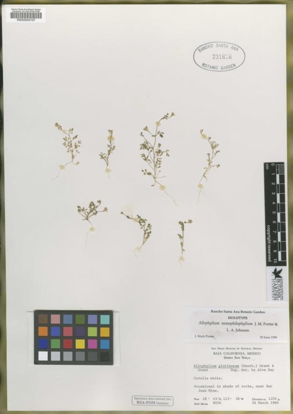 Allophyllum nemophilophyllum image