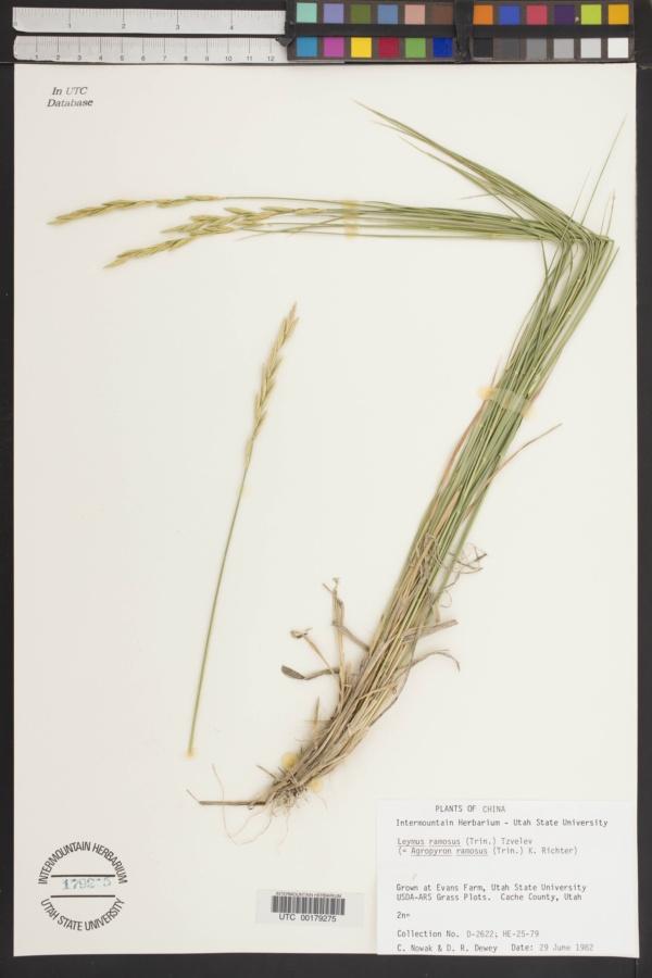 Leymus ramosus image