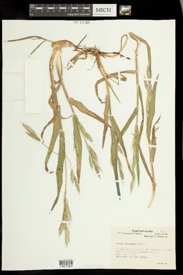 Bromus aleutensis image