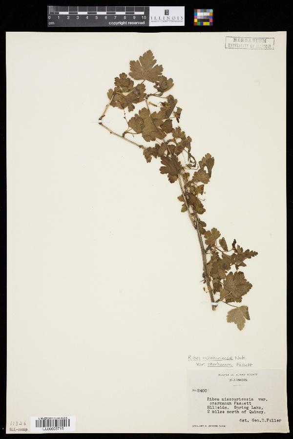 Ribes missouriense var. ozarkanum image