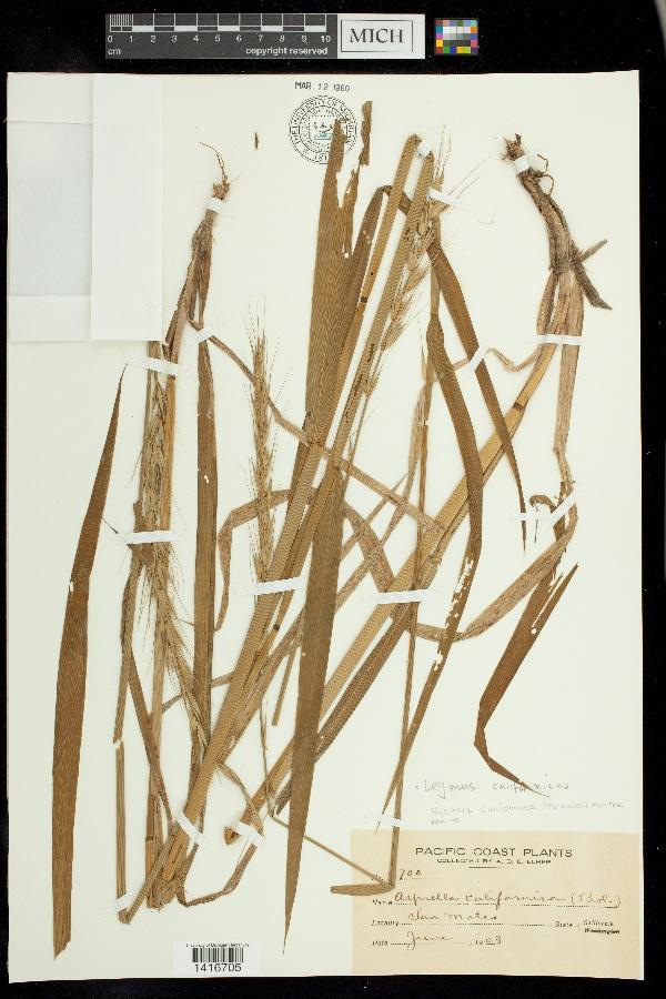 Leymus californicus image
