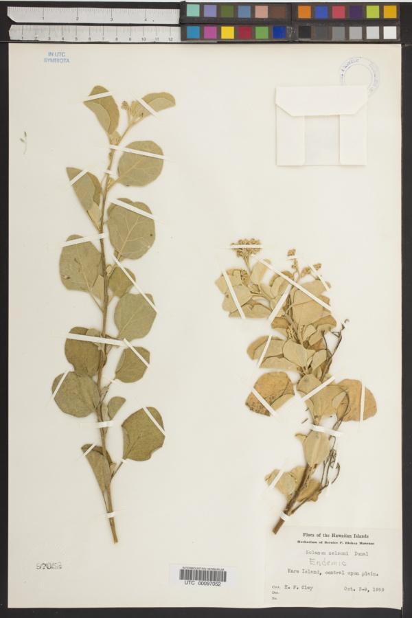Solanum nelsonii image