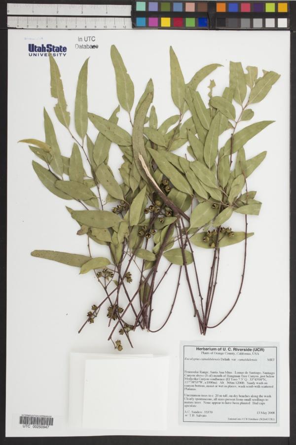 Eucalyptus camaldulensis var. camaldulensis image