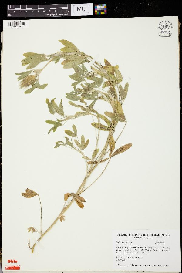 Trifolium dasyurum image