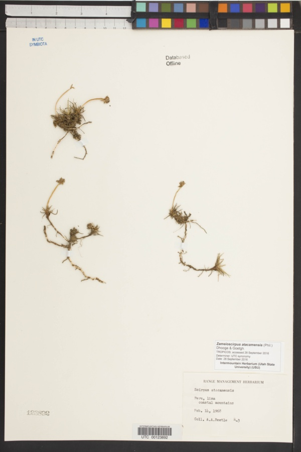 Zameioscirpus atacamensis image