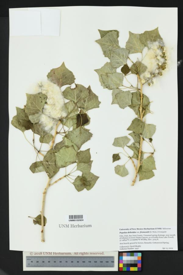 Populus deltoides var. fremontii image