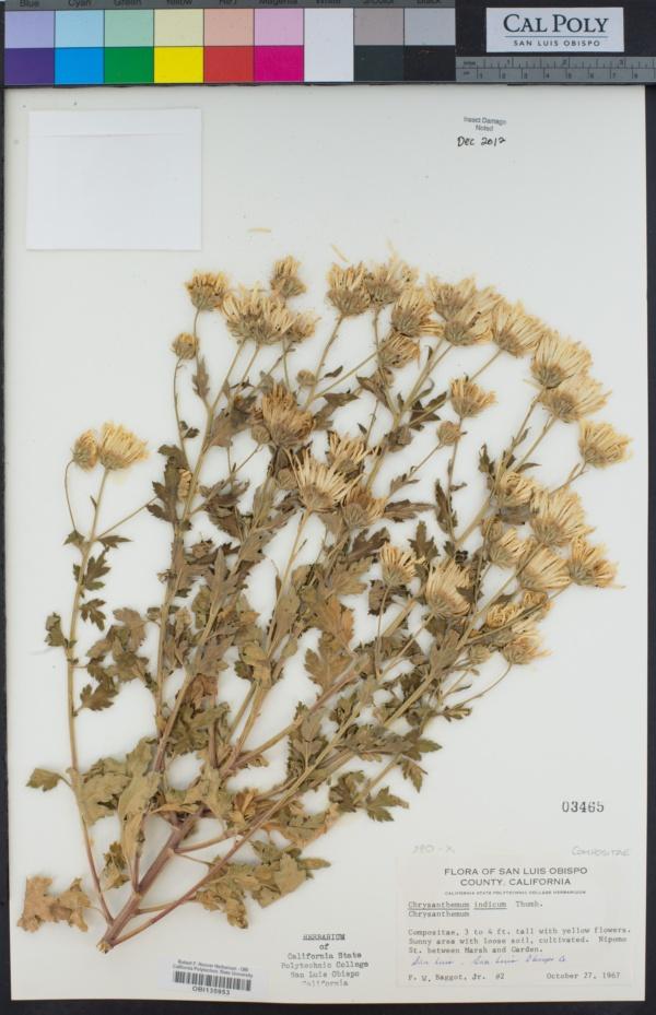 Dendranthema indicum image