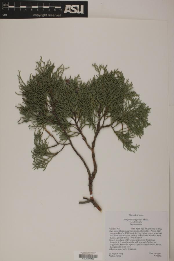 Juniperus deppeana var. deppeana image