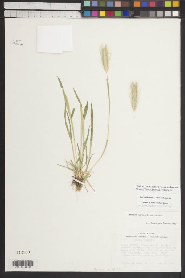 Hordeum murinum subsp. murinum image