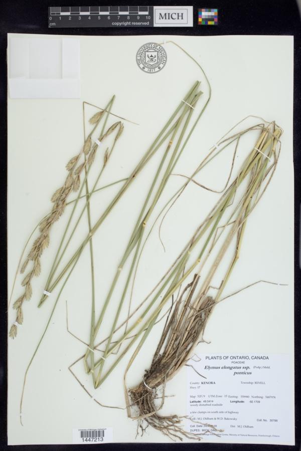 Elymus elongatus image