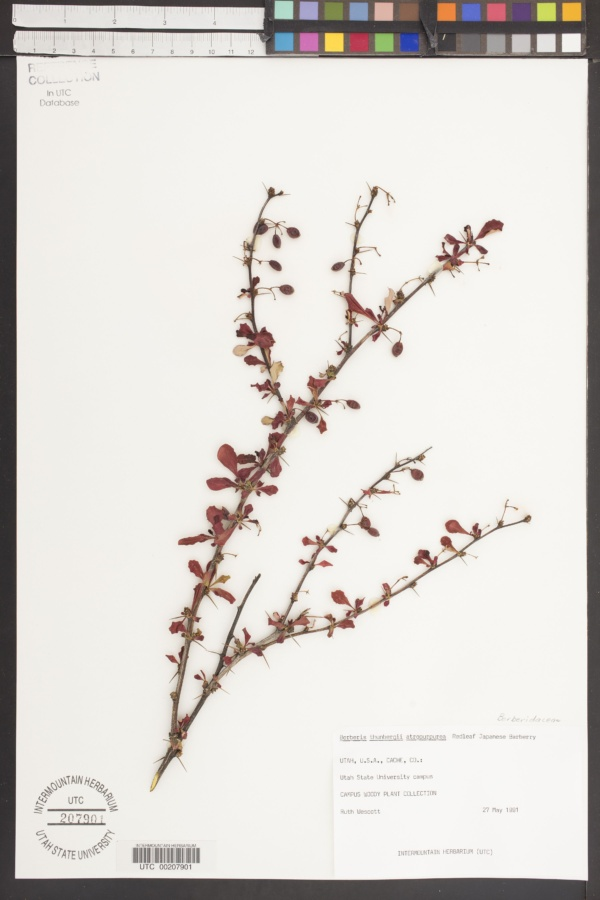 Berberis thunbergii var. atropurpurea image