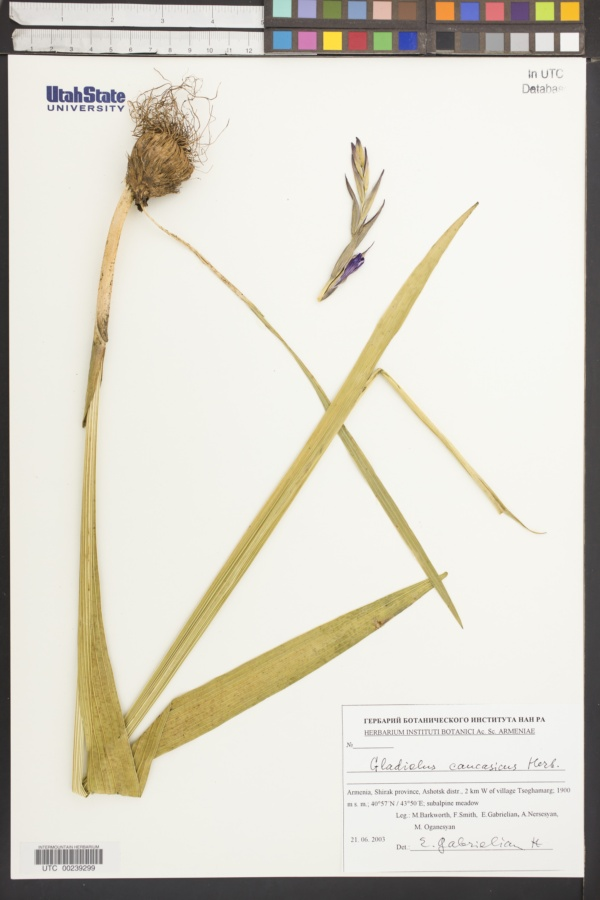 Gladiolus caucasicus image