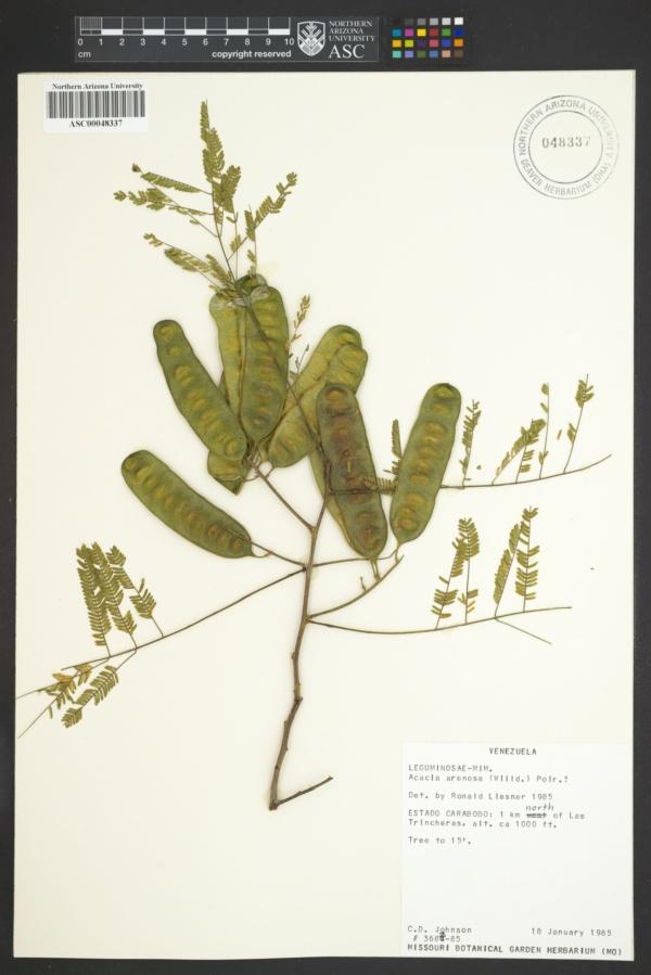 Acacia arenosa image