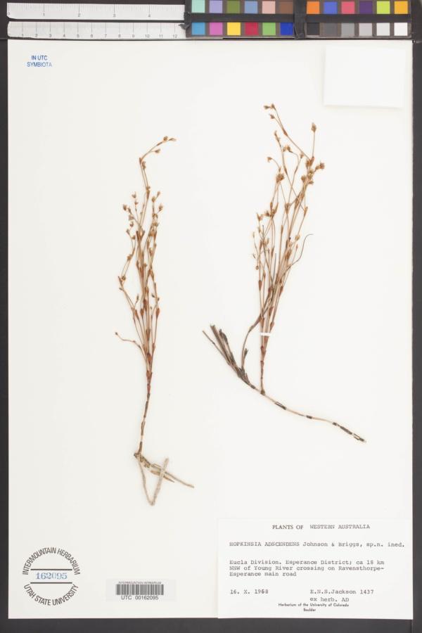 Hopkinsia adscendens image