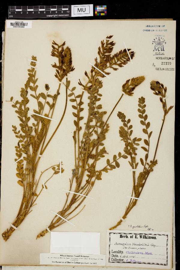 Astragalus pervelutinus image