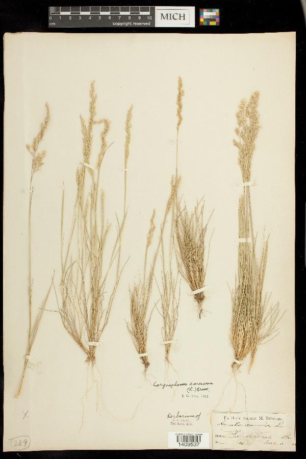 Corynephorus canescens image
