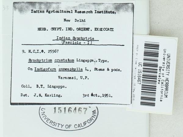 Synchytrium crustatum image