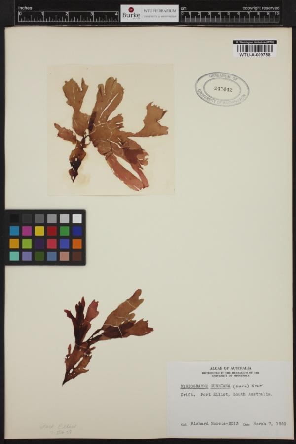 Myriogramme gunniana image