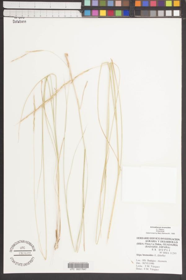Achnatherum bromoides image