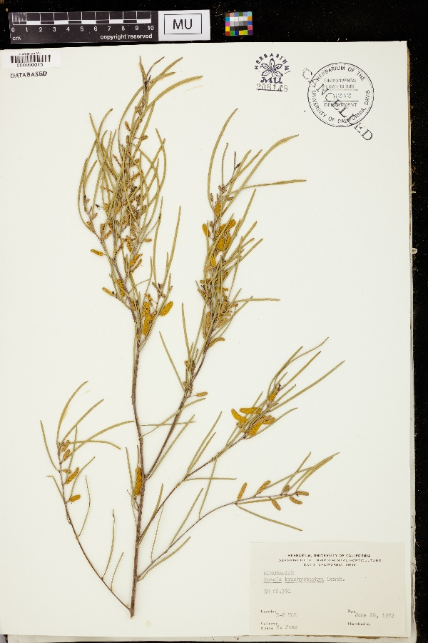 Acacia brachystachya image