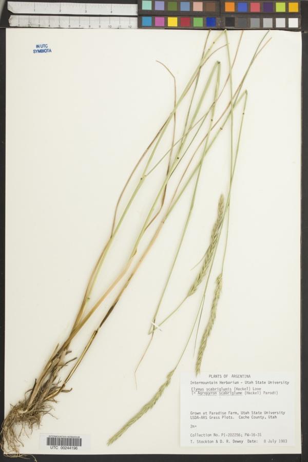 Elymus scabriglumis image