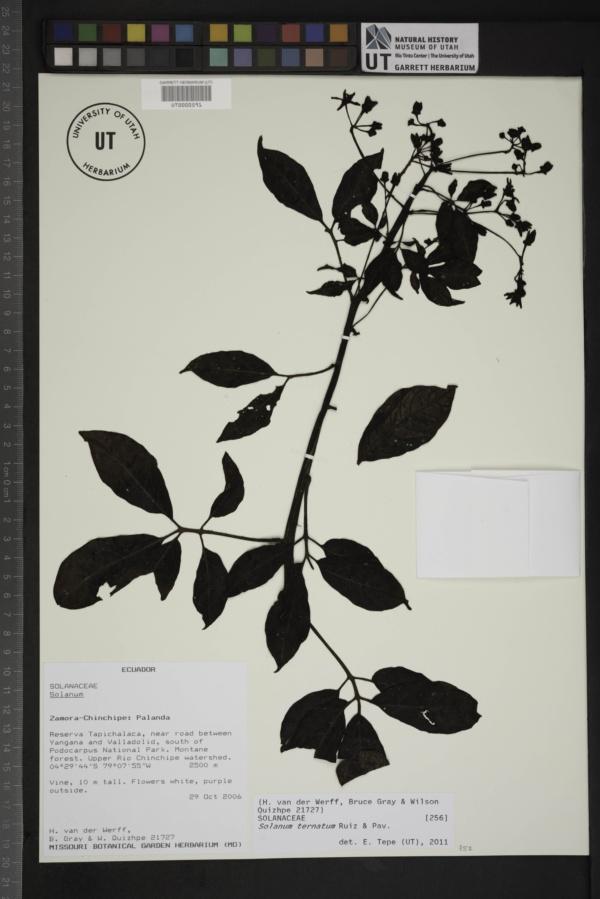 Solanum ternatum image