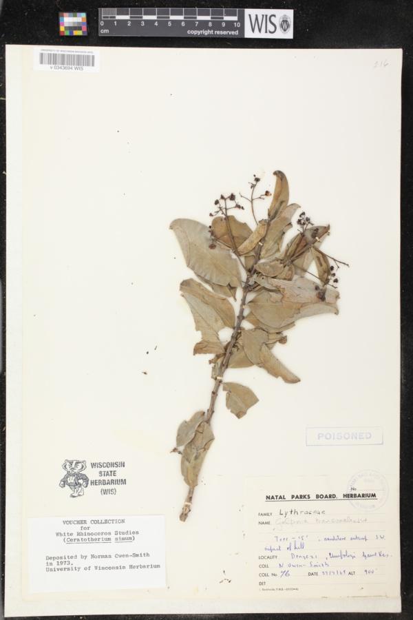 Galpinia transvaalica image