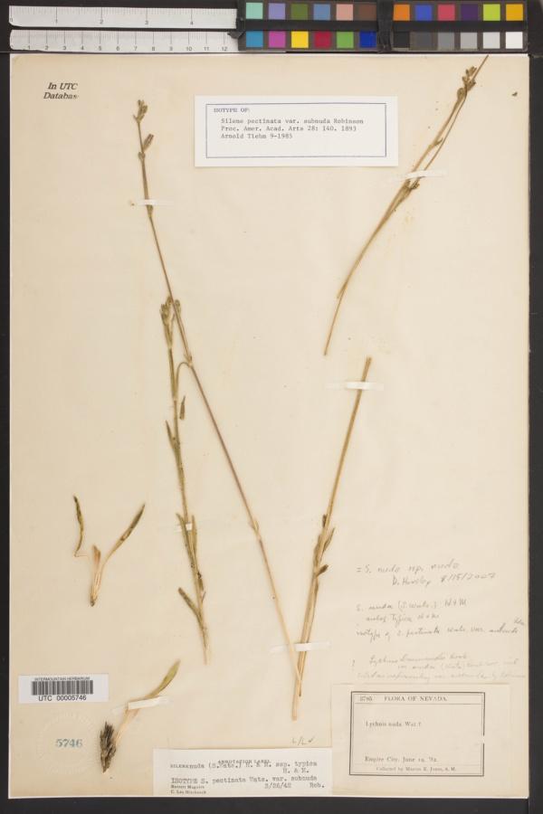 Silene nuda subsp. nuda image