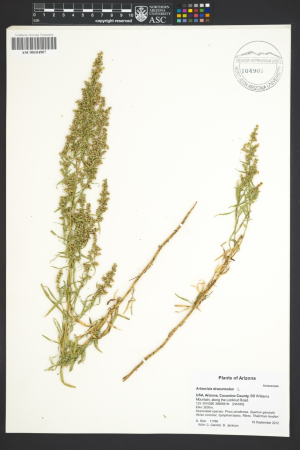 Artemisia dracunculina image