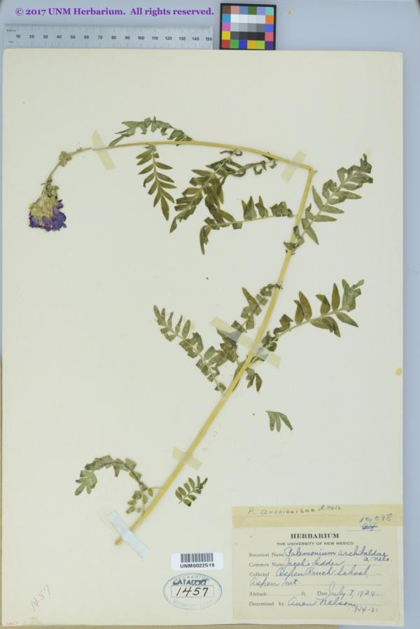 Polemonium archibaldae image