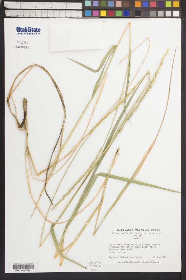 Elymus edelbergii image