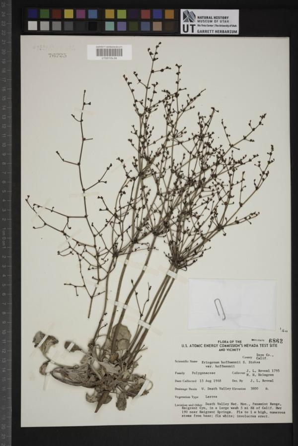 Eriogonum hoffmannii var. hoffmannii image