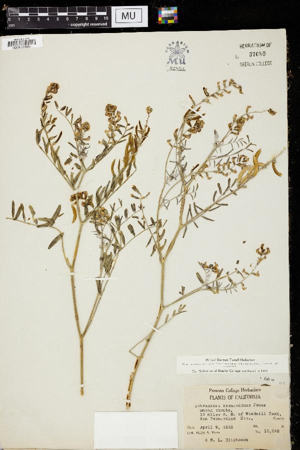 Astragalus bernardinus image