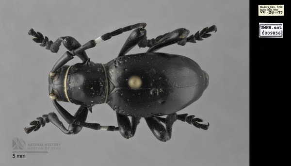 Cerambycidae image
