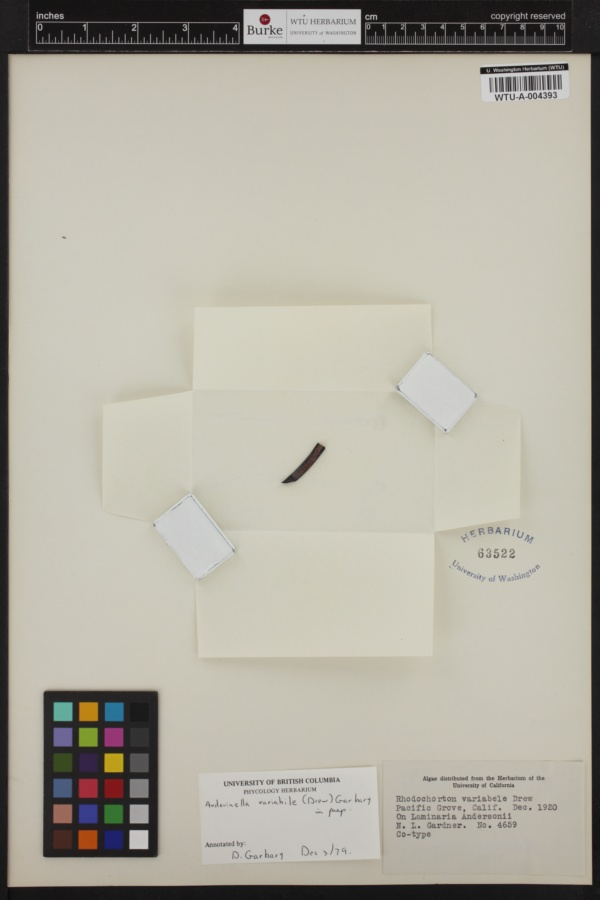 Audouinella variabilis image