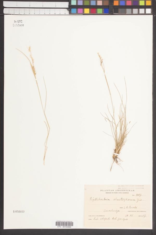 Piptochaetium chaetophorum image