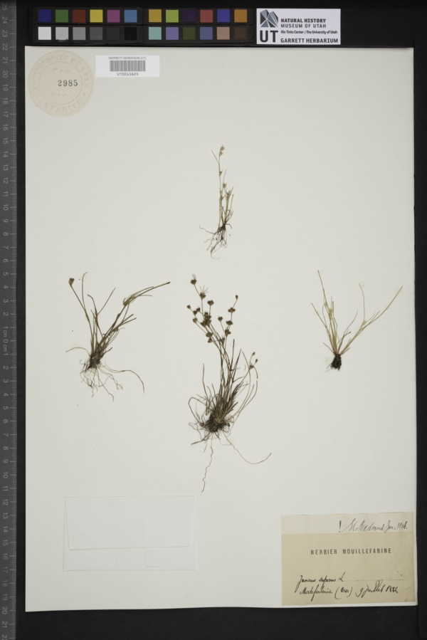 Juncus supinus image
