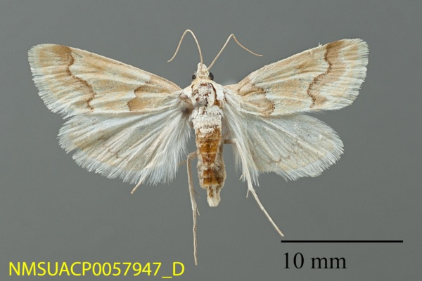 Pseudoschinia elautalis image