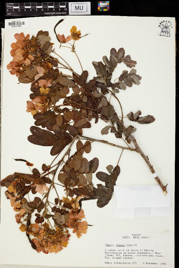 Cassia glauca image