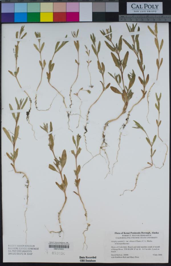 Atriplex gmelinii var. gmelinii image