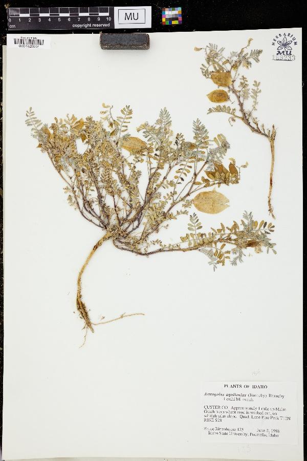 Astragalus aquilonius image