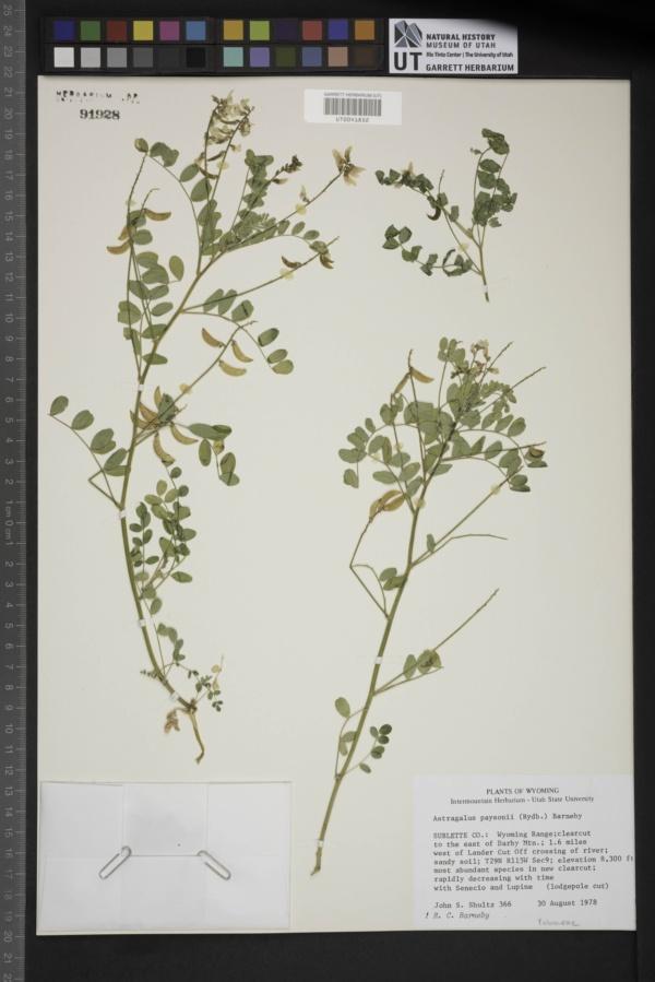 Astragalus paysonii image