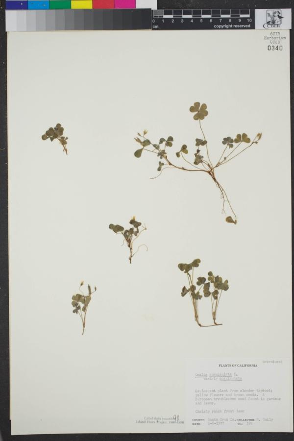 Oxalis corniculata subsp. corniculata image