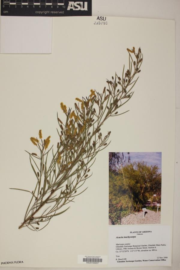 Acacia trachycarpa image