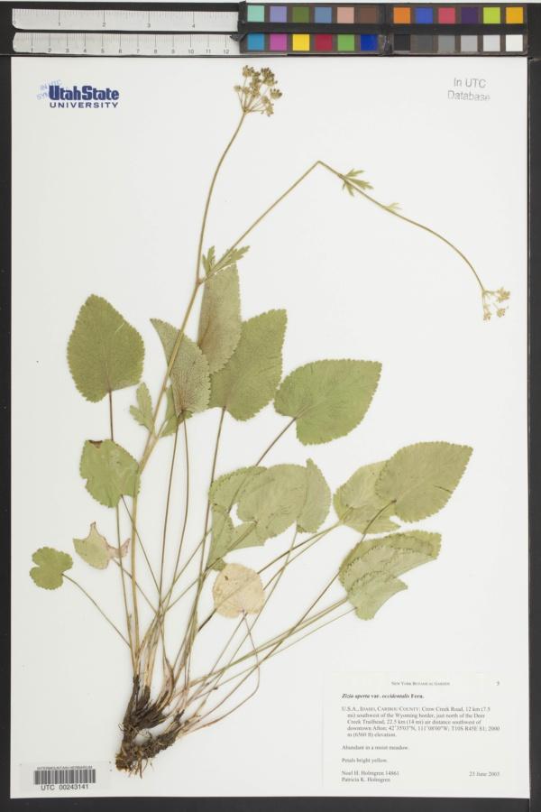 Zizia aptera var. occidentalis image