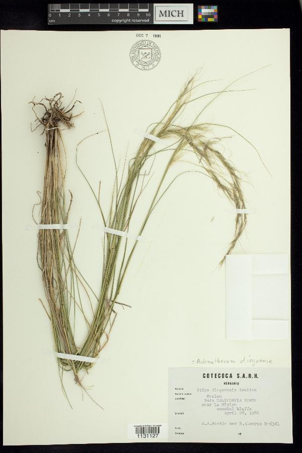 Achnatherum diegoense image