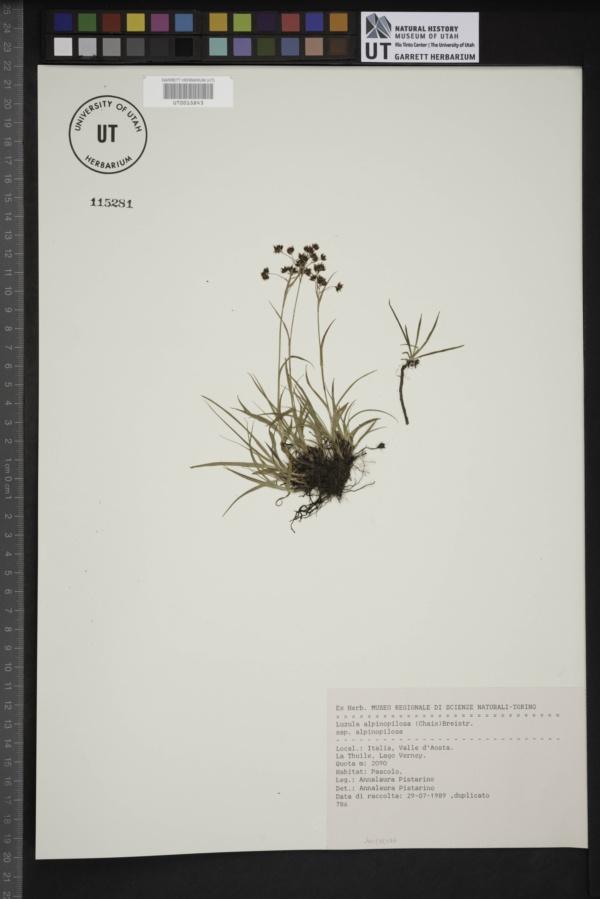 Luzula alpinopilosa subsp. alpinopilosa image
