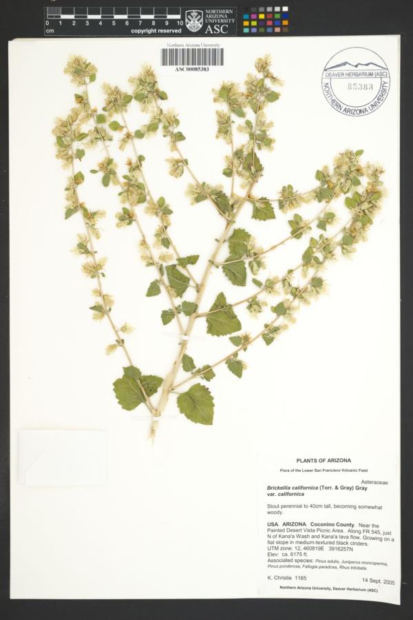 Brickellia californica var. californica image