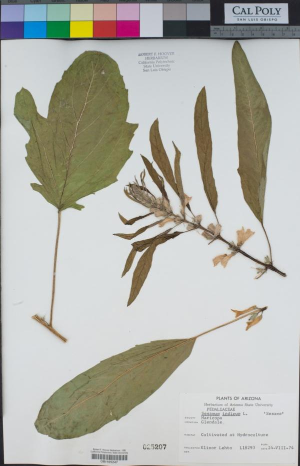 Sesamum indicum image
